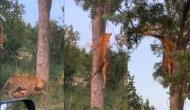हिरण को जबड़े में पकड़कर पेड़ पर चढ़ गया तेंदुआ, वीडियो में देखें फिर हुआ क्या