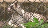 Delhi Zoo: Tigress Kalpana was found negative for COVID-19