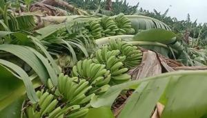 Andhra Pradesh: Heavy rain destroys banana crop in Anantapur, farmers stare at Rs 1 crore loss