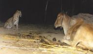 गाय से मिलने रोज रात के अंधेरे में आता था तेंदुआ, वजह जानकर हैरान हो जाएंगे आप