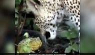 Video: मेंढक और तेंदुए की यह लड़ाई देख दांतों तले दबा लेंगे उंगली, जान पर बन आई तो..