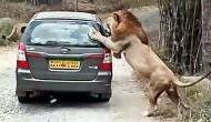खौफनाक Video: शेरों का झुंड देख लड़की ने रोकी कार, तभी पीछे से शेरनी ने खोला दरवाजा और फिर..