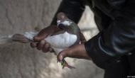 Suspected 'spy' pigeon from Pakistan captured along International Border in Kathua