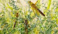 किसानों के लिए मुसीबत बनी टिड्डियां, आज झांसी पहुंच सकता है लाखों टिड्डियों का दल