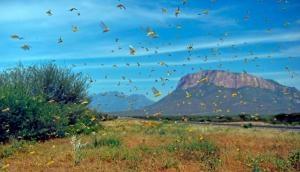 Locust Attack: यूपी-एमपी और राजस्थान में टिड्डियों का कहर, 100 की गति से आगे बढ़ रहे टिड्डी दल