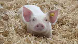 To 'prevent swine fever' China will ban pork imports from India: Reports