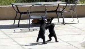 आपस में भिड़ गए भालू के बच्चे, वीडियो में देखें कैसे इंसानों की तरह की फाइट