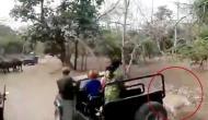 भैंसों के झुंड पर हमला करना शेर को पड़ गया भारी, जान बचाना हो गया मुश्किल, देखें वीडियो