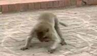 Video: आदमी भले ही न हुआ हो होशियार, लेकिन बंदर ने सीख लिया सोशल डिस्टेंसिंग का पालन करना