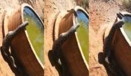 जानवर का शिकार करने के बाद फूल गया अजगर का पेट, वीडियो में देखें फिर कैसा हुआ हाल