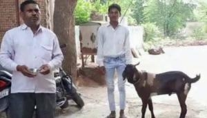 Rajasthan: Male goat produces milk in Dholpur