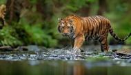 International Tiger Day 2020: भारत में बढ़ रही है बाघों की संख्या, जिम कॉर्बेट पार्क में सबसे ज्यादा बाघ