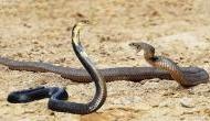 Snake Fight Video: एक दूसरे को देखते ही पागल हो गए सांप, हुई वर्चस्व की लड़ाई, देखने वालों की कांप गई रूह