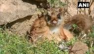 गंगोत्री नेशनल पार्क में मिली उड़ने वाली गिलहरी, 70 साल पहले घोषित हो चुकी है विलुप्त