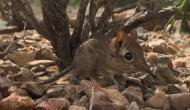 वैज्ञानिकों को मिला सूंड वाला चूहा, 50 साल पहले हो गया था लुप्त, देखें वीडियो