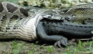 Hair-raising video of anaconda swallowing alligator; weak hearted people should not watch this