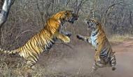 Video: दो बाघों के बीच हुई खूंखार लड़ाई, पंजे पर खड़े होकर जैसे किया हमला देखकर खड़े हो जाएंगे रोंगटे