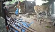 Leopardess gives birth to 4 cubs, takes them to jungle