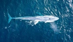 Unbelievable! 'Extremely rare' blue whale spotted in Australia; video goes viral