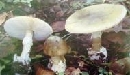 World's most poisonous Mushroom: ये है दुनिया का सबसे जहरीली मशरूम, जिसे छूने से बीमार हो जाता है इंसान