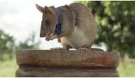 Hero Rat: इस चूहे ने ऐसा क्या किया कि इसे बहादुरी के लिए मिला गोल्ड मेडल, दुनियाभर में हो रही तारीफ