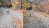 Viral Video: सड़क से गुजर रहा था शख्स तभी पीछे से आ गया अमेरिकी तेंदुआ, वीडियो में देखें फिर हुआ क्या?