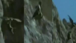 Video: ऊंची चट्टान पर घास चर रही थी बकरी, तभी सुनरही चील ने कर दिया हमला और फिर...