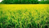 बिहार का ये किसान अपने खेत में पैदा करता है ऐसा चावल, जिसे पकाने के लिए पड़ती है ठंडे पानी की जरूरत