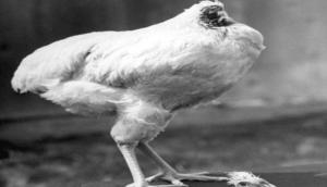 आश्चर्य: कटा हुआ था सिर, इसके बाद भी 18 महीने तक दौड़ता-भागता रहा ये मुर्गा