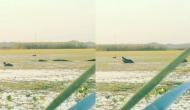 नदी में आराम से तैर रही थीं बत्तक, तभी आ गया भूखा मगरमच्छ, वीडियो में देखें फिर हुआ क्या?