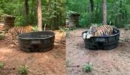 पानी से भरे टब को देखकर नहाने के लिए कूद गया बाघ, वीडियो में देखें कैसे की मस्ती