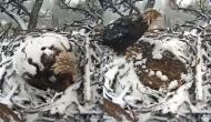 मां की ममता के आगे प्रकृति ने मानी हार, वीडियो में देखें जब हुई बर्फबारी तो पक्षी ने कैसे की अपने बच्चों की सुरक्षा?