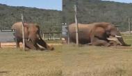 बिजली के तारों के नीचे से निकलने के लिए हाथी ने अपनाई इंसानों जैसी तरकीब, वीडियो देखकर रह जाएंगे दंग