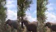 हाथी ने गुस्से में जड़ से उखाड़ फेंका पेड़, वीडियो में देखें गजराज की नाराजगी का नतीजा