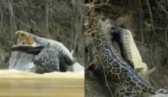 नदी में तैर रहे मगरमच्छ को पलभर में तेंदुआ ने बनाया अपना शिकार, वीडियो में देखें कैसे किया अटैक