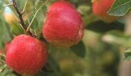 सावधान: सेब खाते समय गलती से भी न खाएं इसके बीज, इस वजह से जा सकती है जान