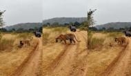 बाघ का हो गया अजगर से सामना, वीडियो में देखें कैसे किया उसका मुकाबला