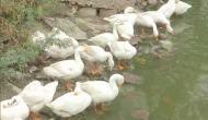 Bird Flu: जंगलों तक पहुंचा बर्ड फ्लू का संक्रमण, खत्म हो सकती हैंं विलुप्त हो रही प्रजातियां