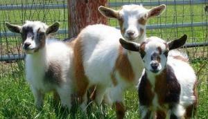 एक बकरी ने बदल दी किसान की किस्मत, वजह जानकर दंग रह जाएंगे आप