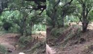 शेर का हो गया दुनिया के सबसे निडर जानवर से सामना, वीडियो में देखें फिर हुआ क्या