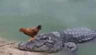 नदी पार करने के लिए मगरमच्छ की पीठ पर सवार हो गया मुर्गा, वीडियो में देखें फिर हुआ क्या