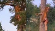 हिरण को लेकर पेड़ पर चढ़ गया तेंदुआ, वीडियो में देखें शिकारी की बेजोड़ ताकत