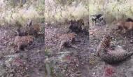 कुत्तों पर हमला करना तेंदुआ को पड़ गया भारी, वीडियो में देखें कैसे शिकारी का हुआ शिकार