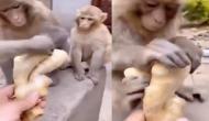 इसे कहते हैं 'बंदर क्या जाने अदरक का स्वाद' वीडियो देखकर हो जाएगा यकीन