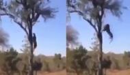 बच्चे को बचाने के लिए तेंदुआ से भिड़ गई मां, वीडियो में देखें पेड़ पर चढ़कर कैसे बचाई जान