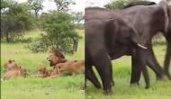 पेड़ के नीचे आराम कर रहा था शेरों का परिवार तभी सामने से आ गया हाथियों का झुंड़ और फिर...