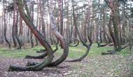 जानिए क्यों इस रहस्यमयी जंगल में 90 डिग्री पर मुड़े हुुए हैं पेड़