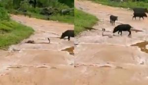 कोबरा को मारने की कोशिश कर रहा था नेवला तभी बचाने के लिए कौवे के साथ पहुंच गए ये जानवर और फिर...