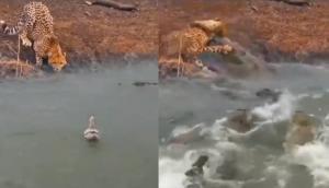 झील में तैर रही बत्तख पर मगरमच्छों ने किया हमला तभी किनारे पर दिख गया बाघ और फिर...