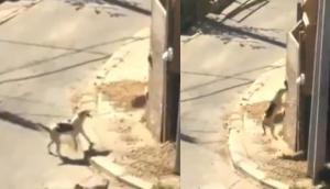 दीवार पर चढ़ने की कोशिश कर रहा था कुत्ता, वीडियो में देखें कई बार की असफलता के बाद कैसे मिली मंजिल